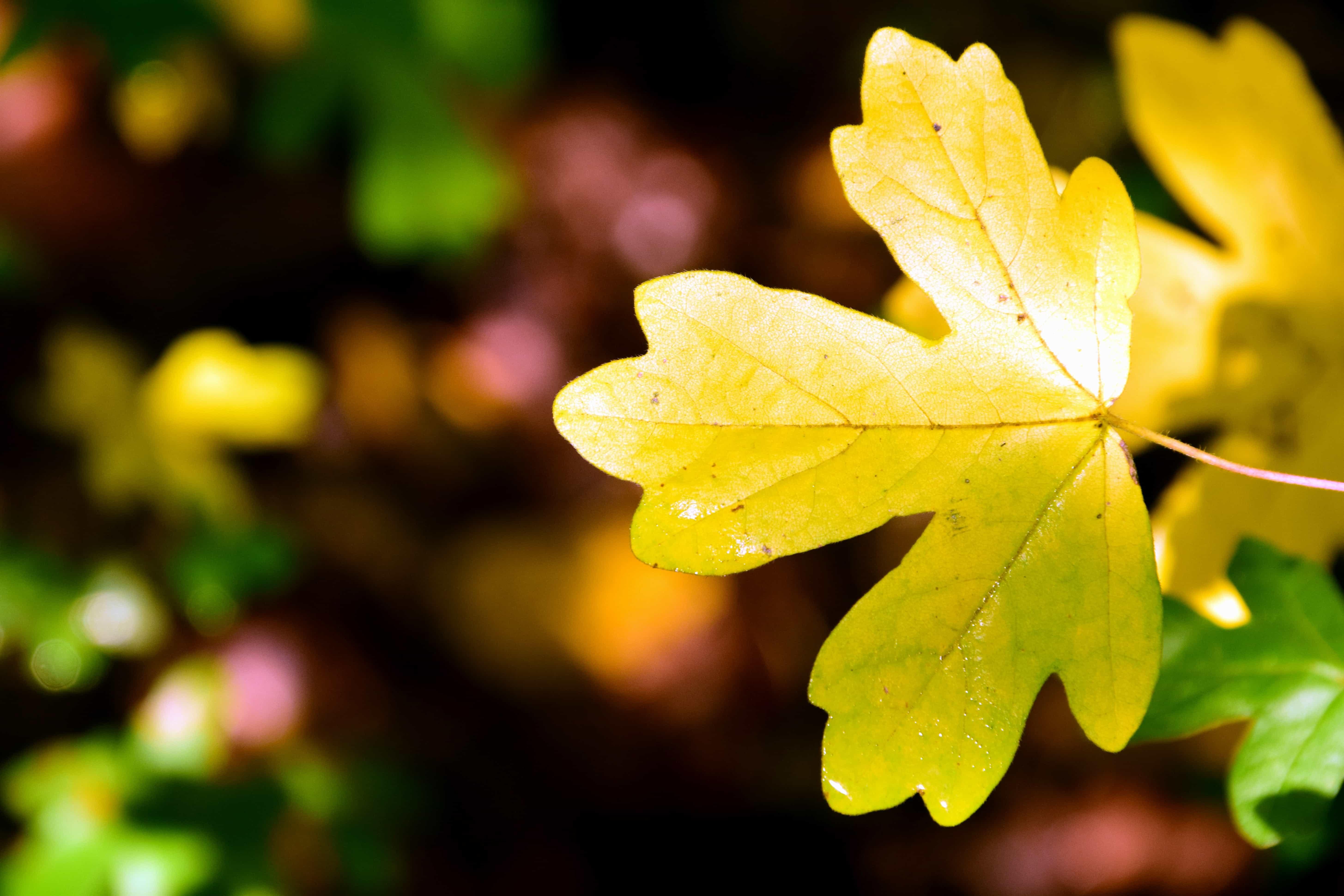 Imagen gratis: naturaleza, flora, hoja, planta, otoño, hojas, árbol ...