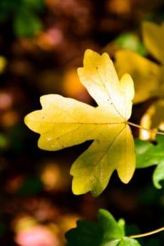 chêne, plante, arbre, feuillage, nature, feuilles, flore, automne
