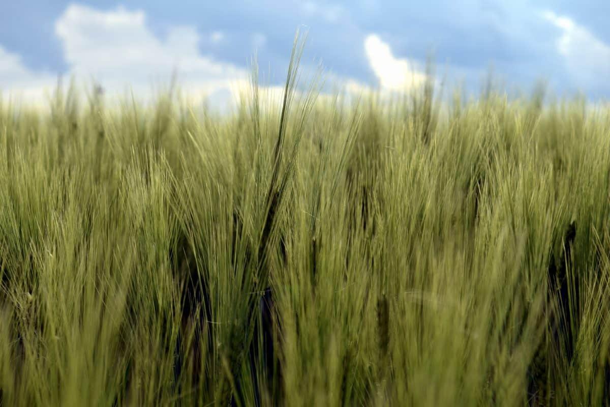 blue sky, cloud, farm, field, agriculture, summer, landscape