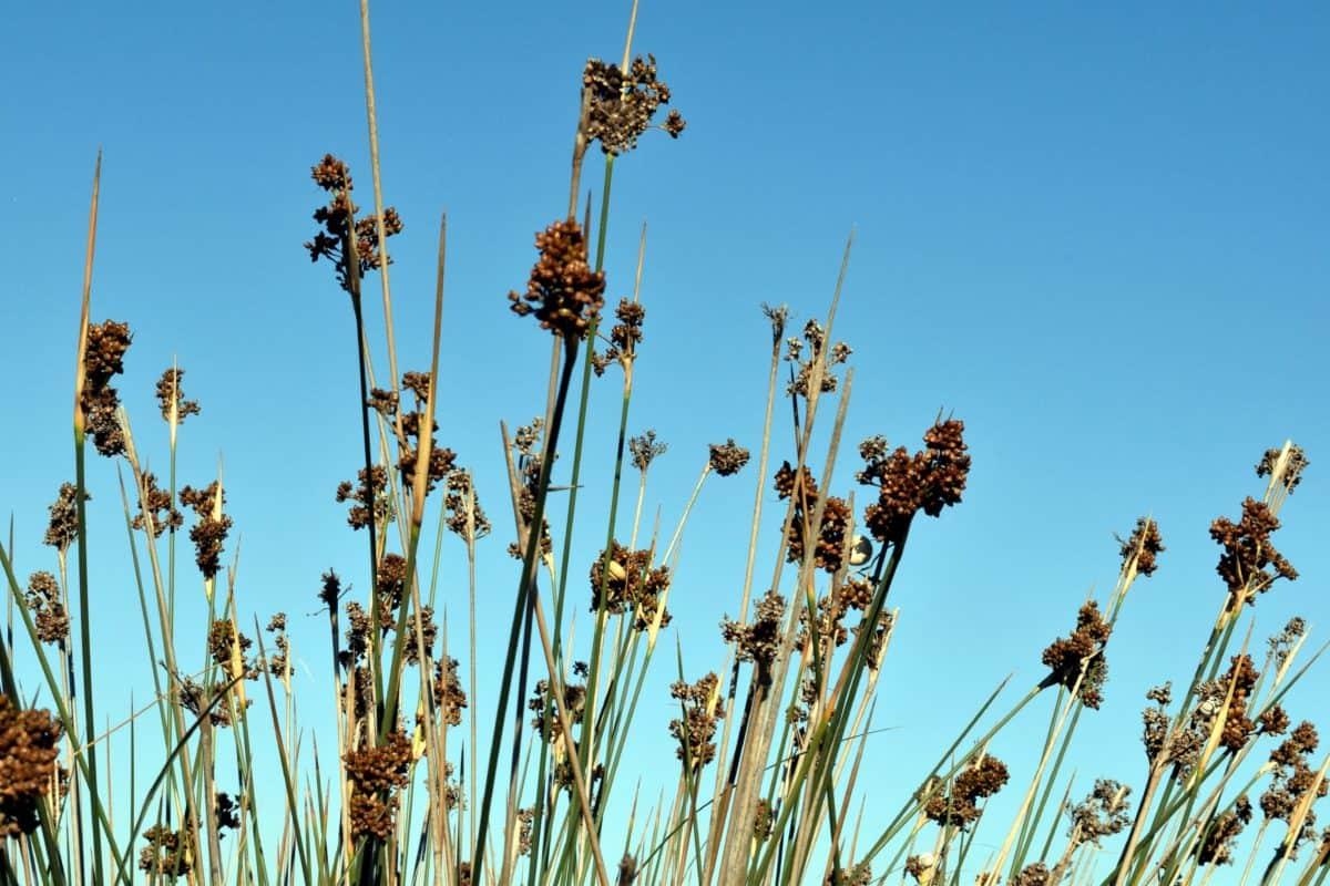 wildflower, plant, blue sky, rural, grass