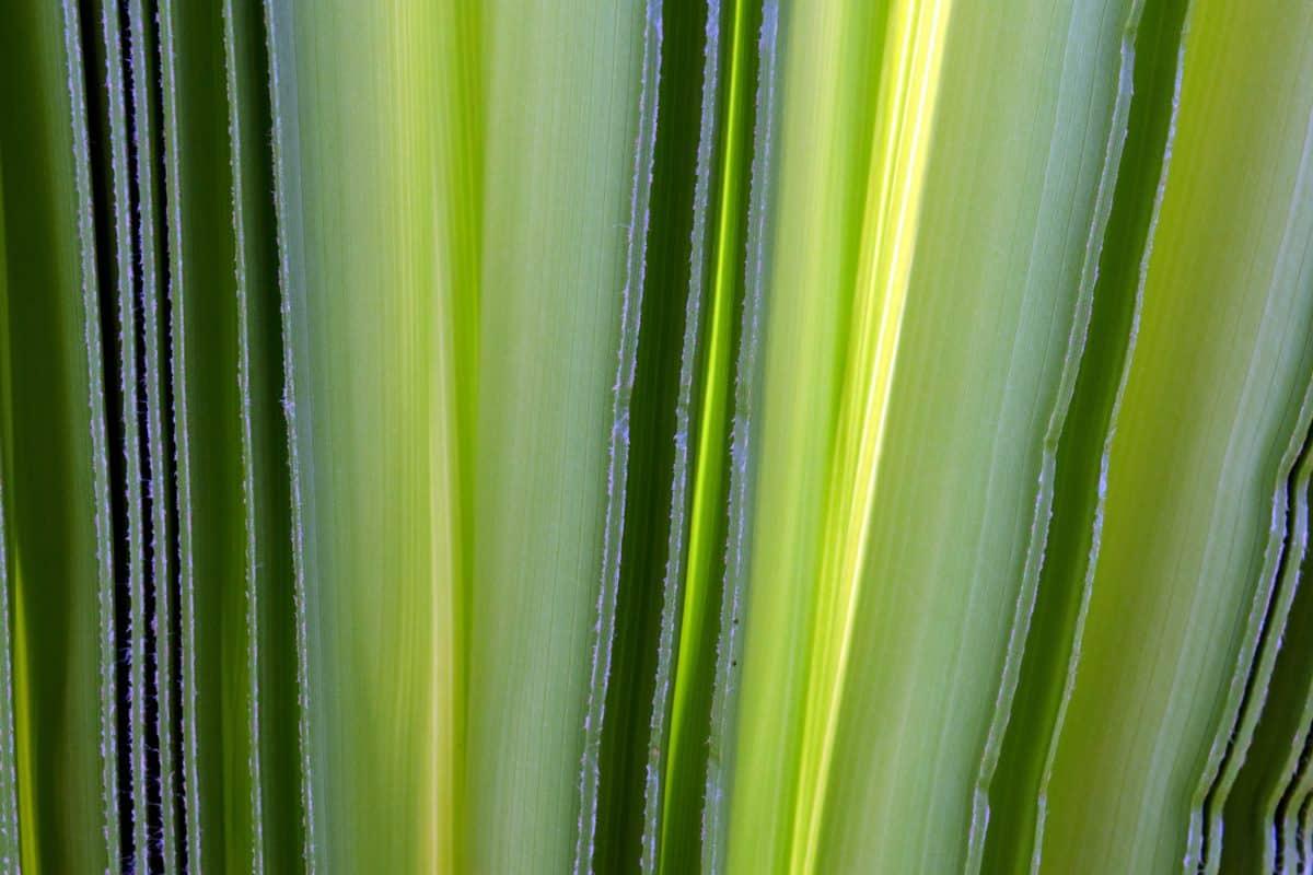 levél, növény, növény, agave