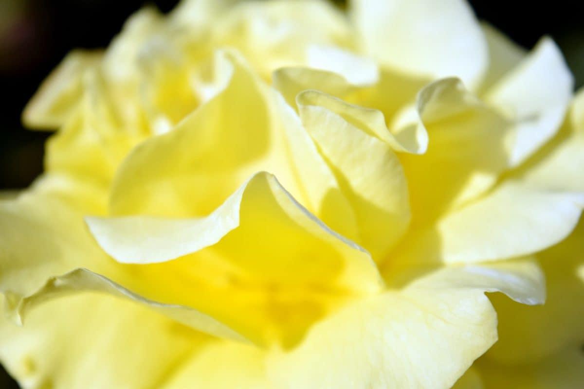 beautiful, flower, flora, nature, narcissus, plant