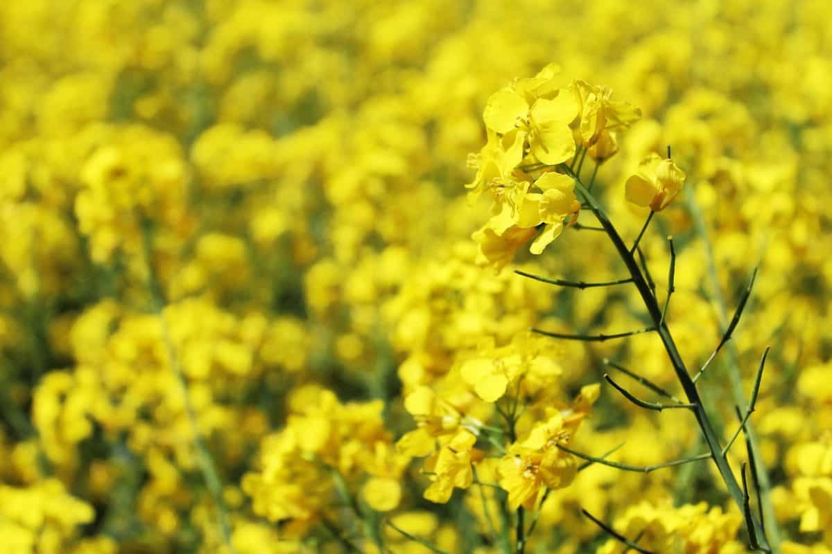 summer, flora, rapeseed, nature, field, flower, agriculture