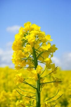 flower, flora, field, agriculture, nature, rapeseed, blue sky, daylight