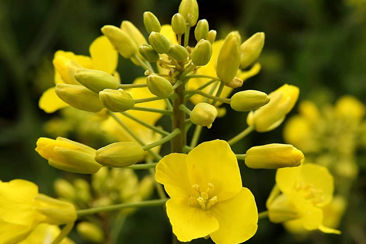 nature, flower, flora, rapeseed, oilseed, plant, herb, seed