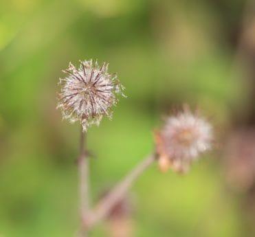 list, květ, flóra, příroda, bodlák, léto, tráva, osivo