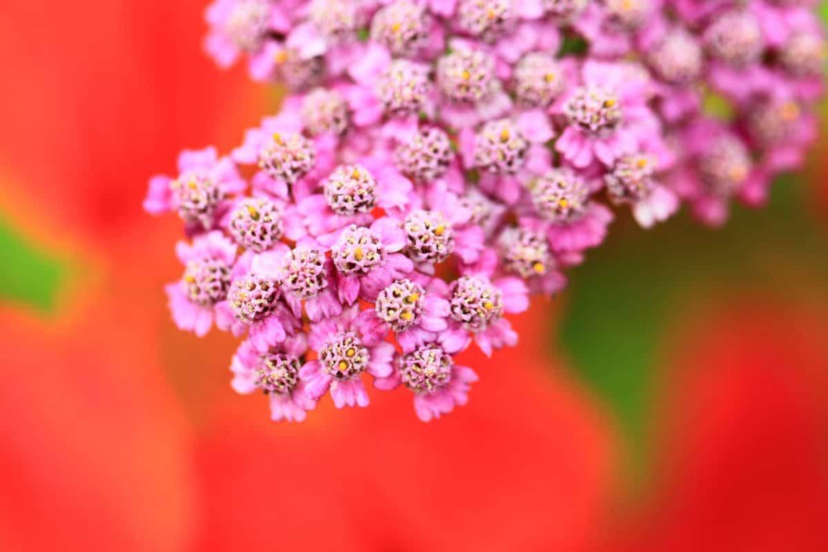 alam, makro, bunga, musim panas, flora, ramuan, yarrow, tanaman, bunga