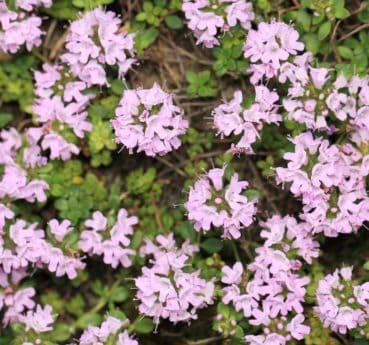 flora, natur, kronblad, eng, urt, plante, blossom, wildflower
