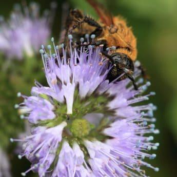 природата, лято, прашец, цвете, пчела, макро, насекоми, нектар