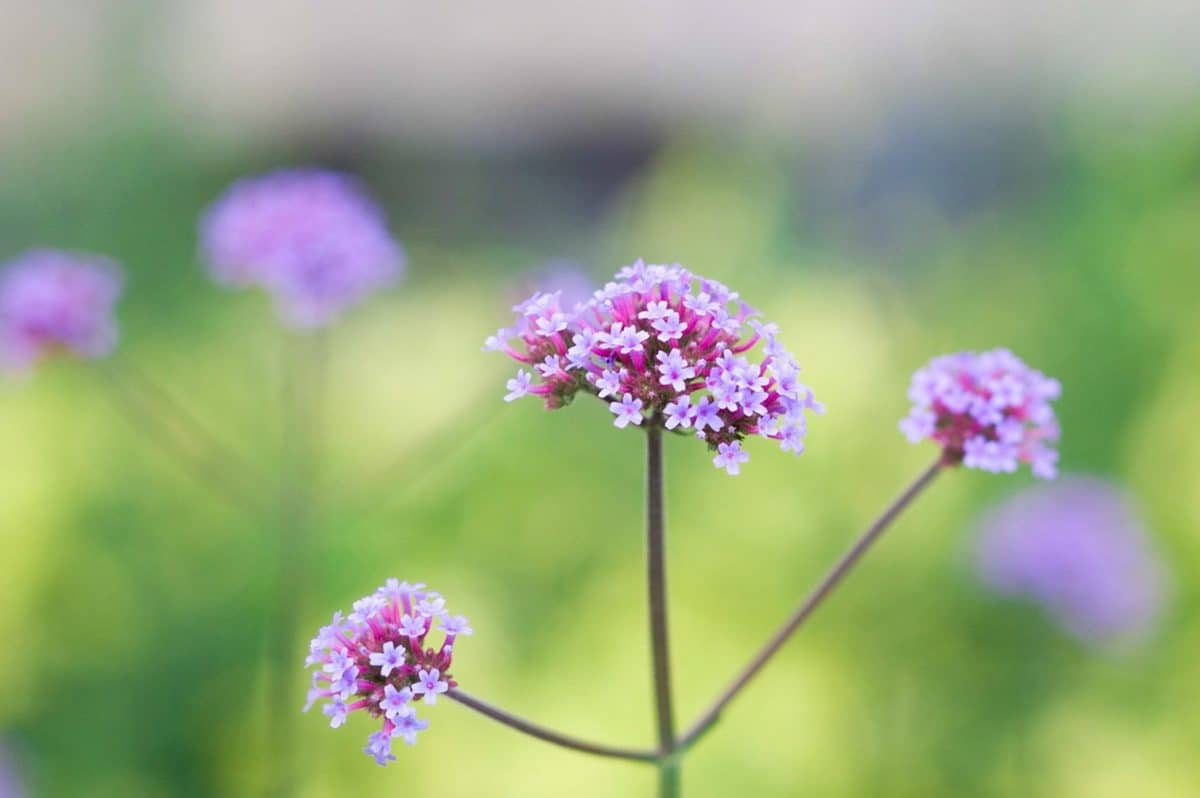musim panas, alam, daun, makro, flora, Taman, bunga liar, ramuan, tanaman