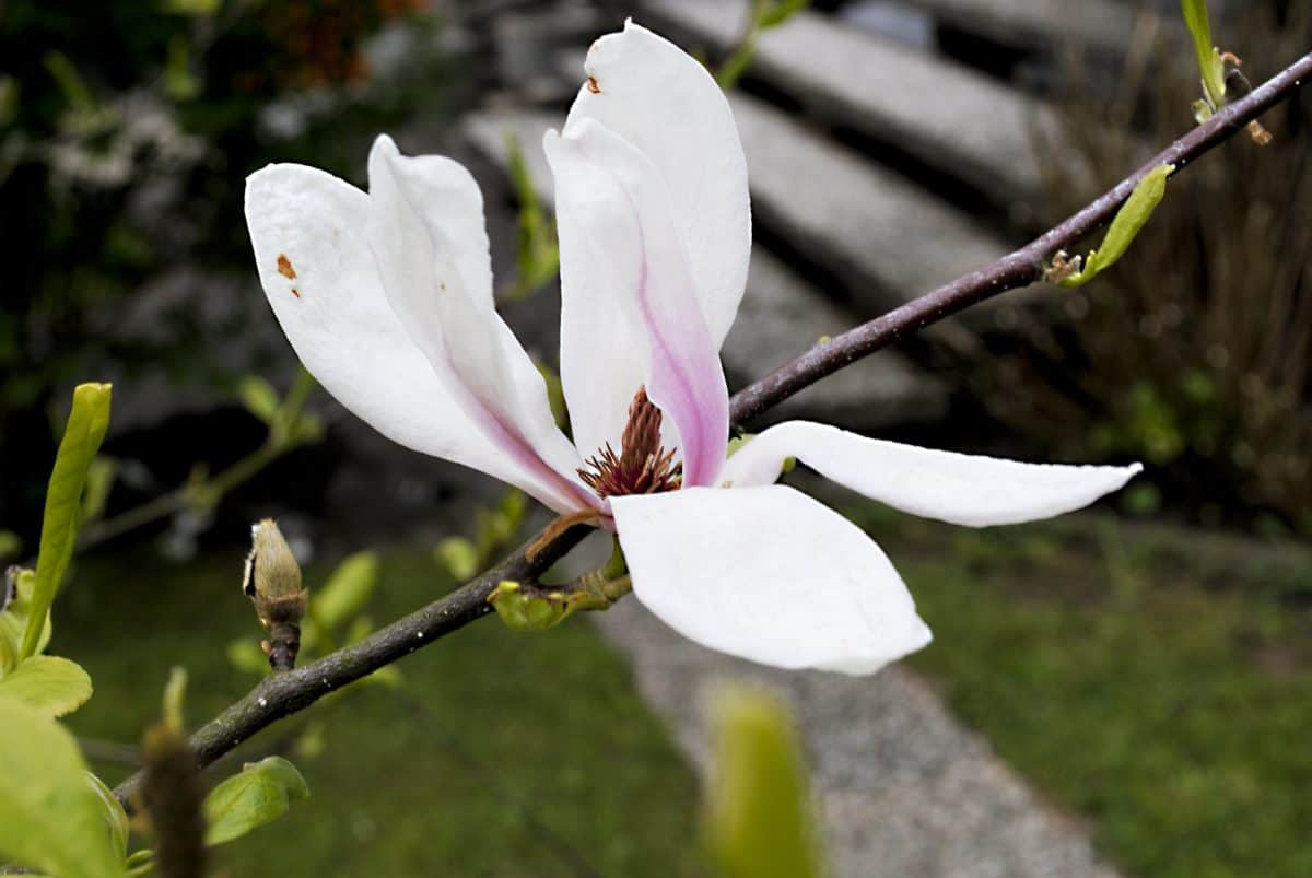 nature, leaf, flower, tree, magnolia, blossom, plant, petal