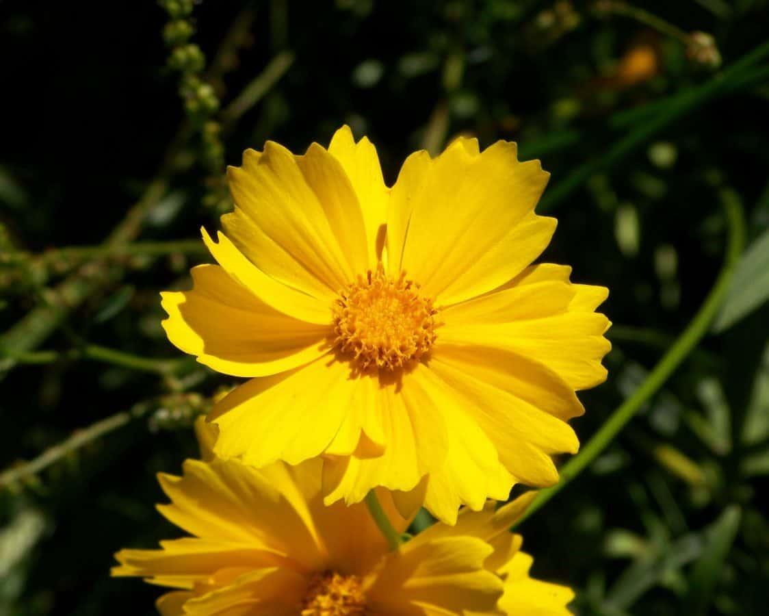 flora, flower, summer, nature, sunflower, herb, plant, petal