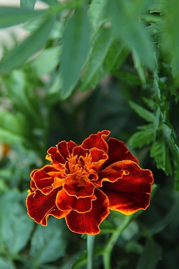 carnation, flora, flower, garden, nature, summer, leaf, plant, daylight