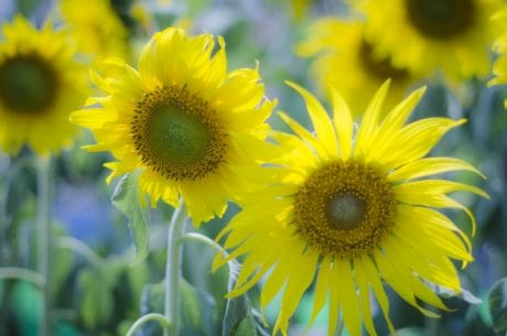 summer, sunflower, garden, flower, leaf, nature, petal, flora