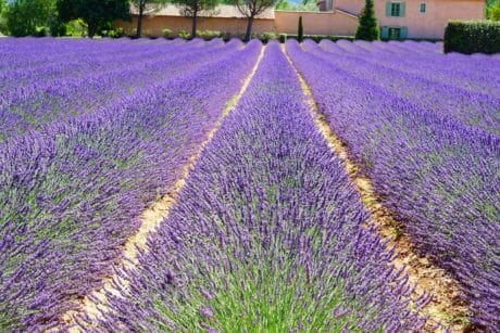 field, aromatherapy, perfume, nature, lavender, flora