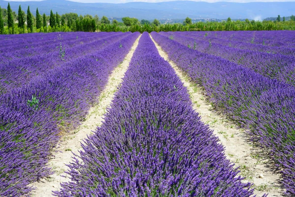 field, lavender, agriculture, aromatherapy, lilac, nature, perfume