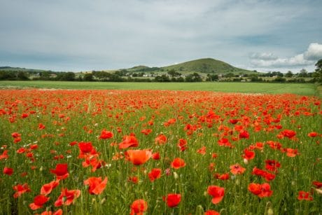 nature, flower, opium poppy, agriculture, field, grass, flora, summer
