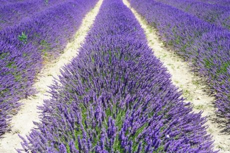 flora, lavender, field, agriculture, aromatherapy, nature