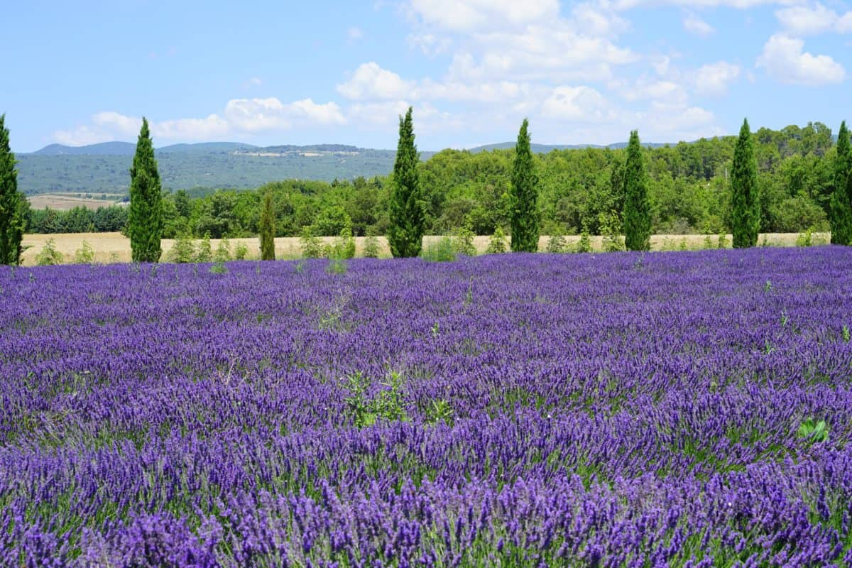 Flóra, květiny, krajina, zemědělství, léto, pole, příroda