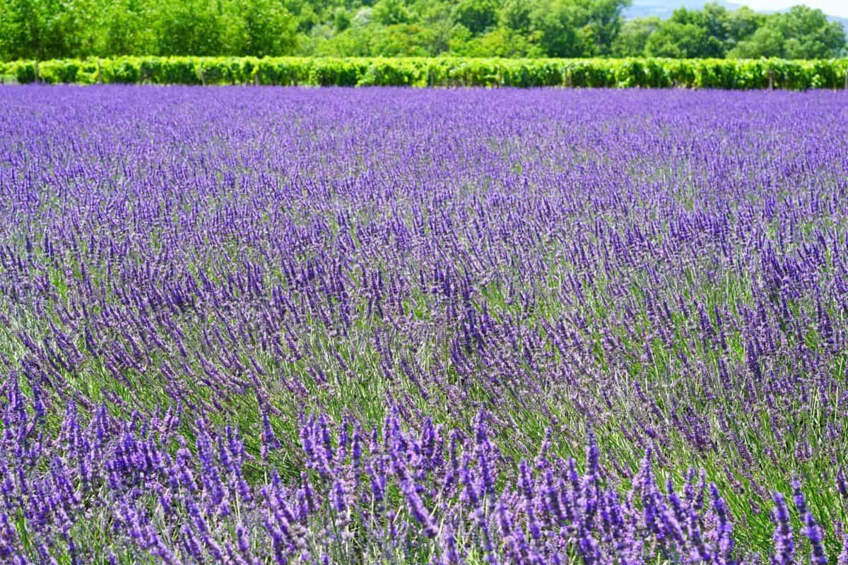nature, herb, flora, flower, summer, outdoor, field, lavender, plant