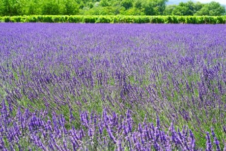 nature, herb, flora, flower, summer, outdoor, field, lavender, plant
