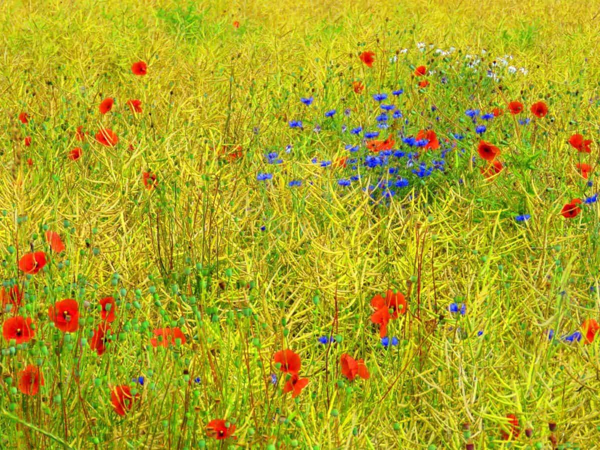 flower, flora, nature, field, grass, poppy, summer, meadow, daylight