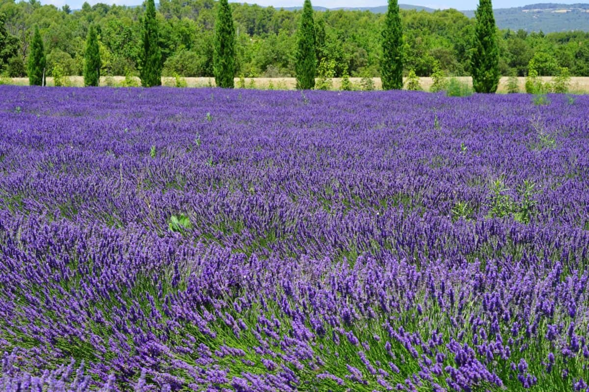 field, nature, summer, wildflower, flora, lavender, plant, agriculture