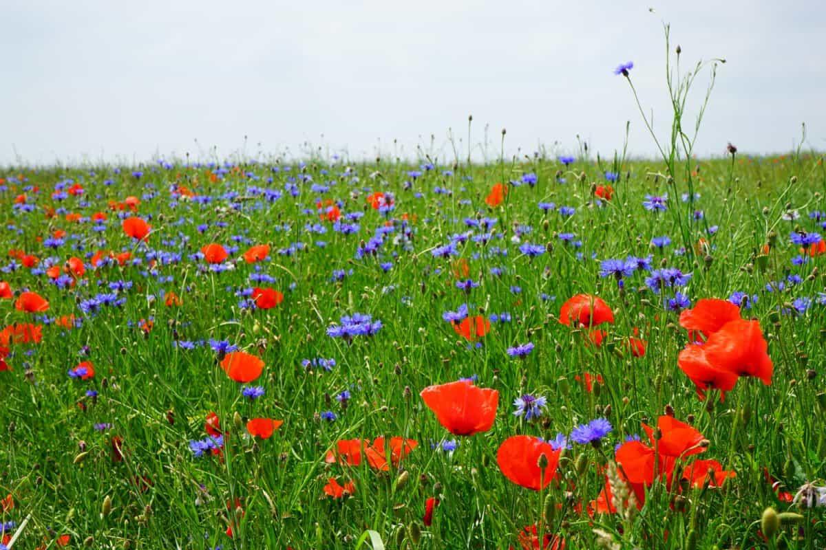 summer, field, wildflower, grass, opium poppy, flora, countryside, nature