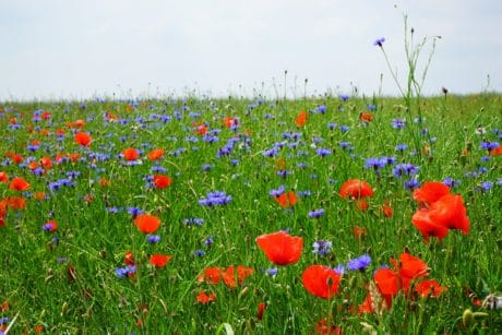 summer, field, wildflower, grass, opium poppy, flora, countryside, nature