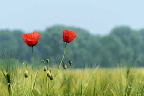 nature, wildflower, field, summer, green grass, opium poppy, bloom, daylight