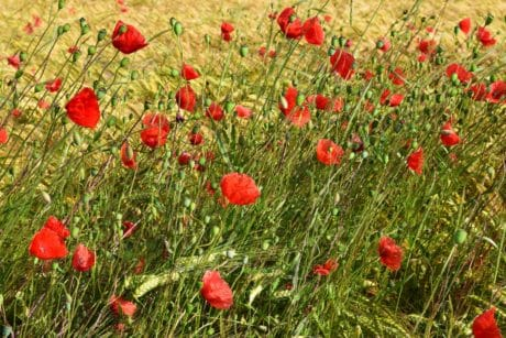 flora, opium poppy, nature, summer, wildflower, field, grass, plant