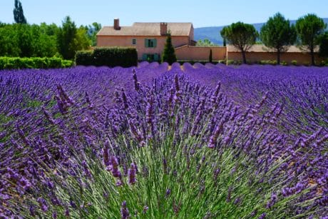 flora, nature, flower, summer, aromatherapy, field, lavender, farm