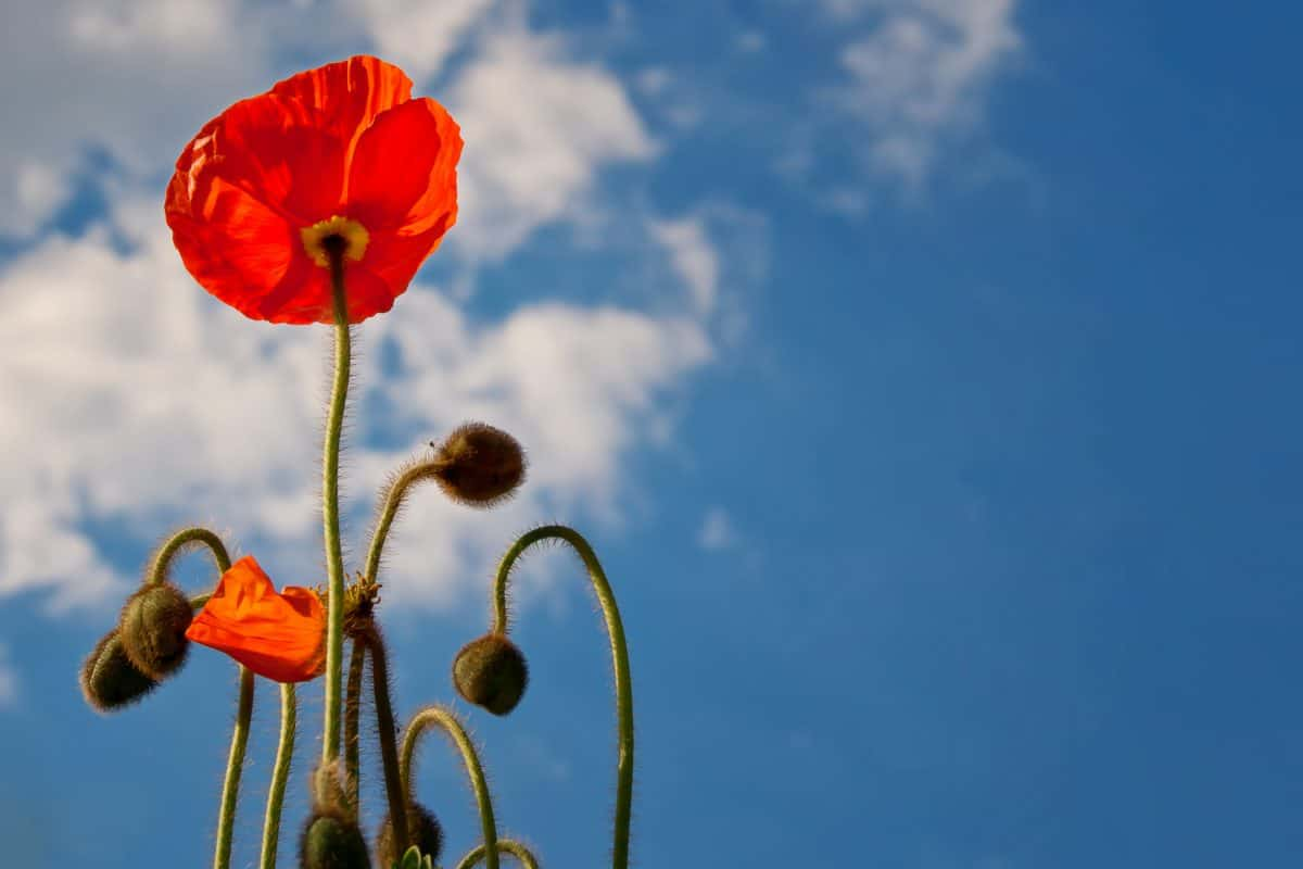 nature, blue sky, opium poppy, wildflower, bloom, outdoor