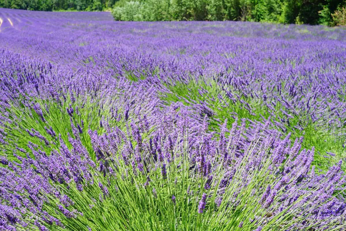 herb, nature, perfume, flower, field, aromatherapy, flora