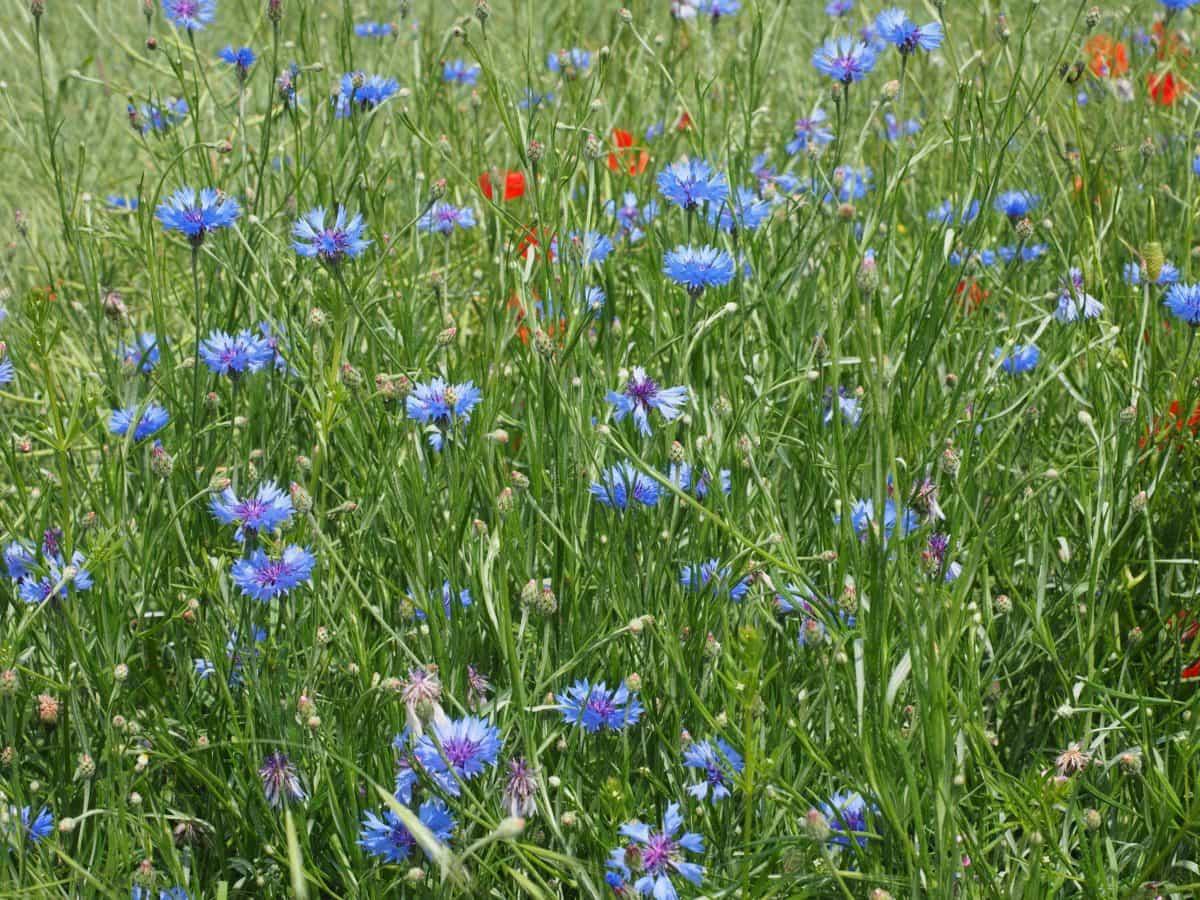 flora, field, flower, garden, grass, summer, nature, chicory, herb