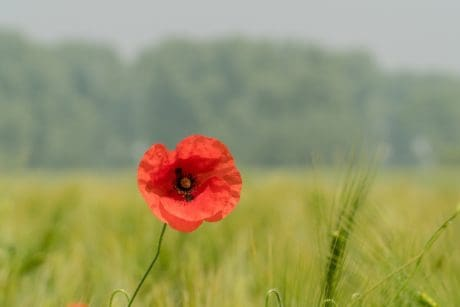 summer, grass, poppy, flower, nature, field, plant, blossom