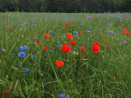 flower, flora, poppy, summer, nature, field, grass, meadow
