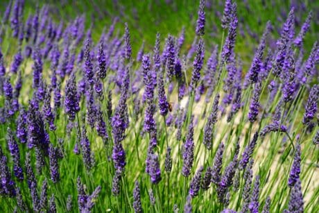 nature, flora, herb, perfume, summer, wildflower, field, lavender