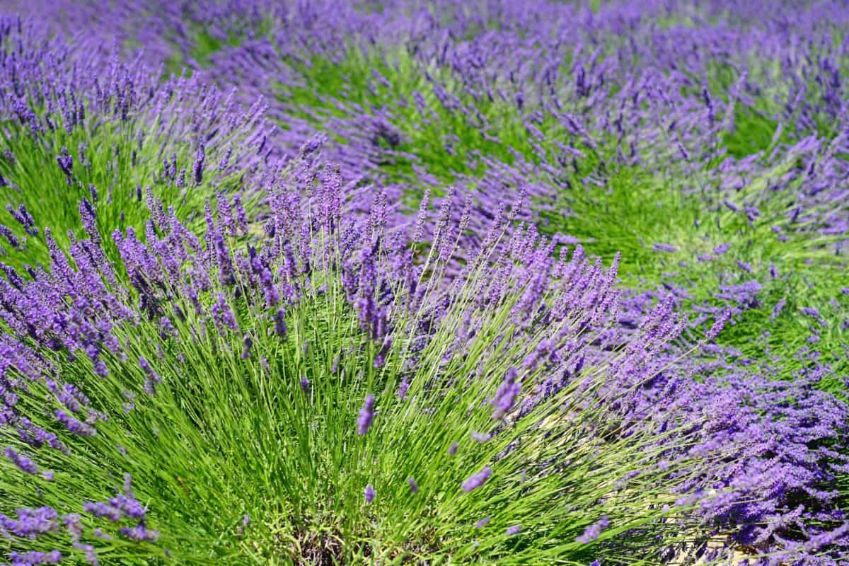 field, perfume, lilac, flower, aromatherapy, flora, nature
