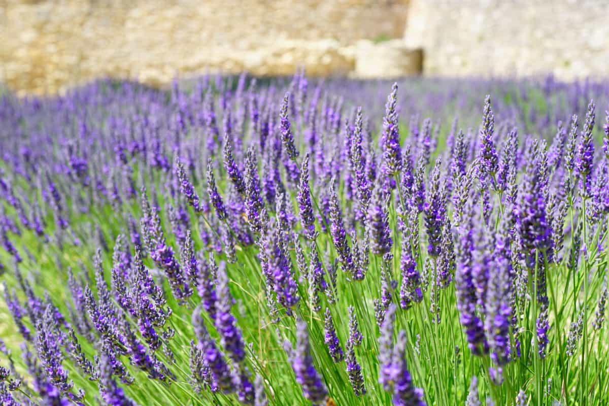 flora, sommer, blomst, natur, felt, lavendel, plante, urt, udendørs