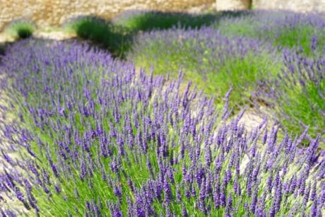 countryside, lavender, nature, field, flora, flower, summer, aromatherapy