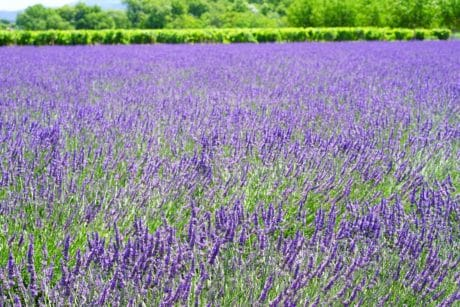 flora, summer, field, flower, nature, lavender, plant, countryside