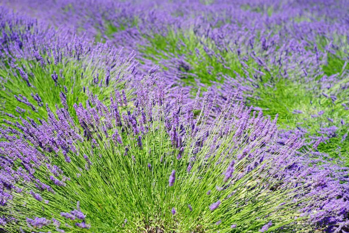 flower, field, flora, agriculture, perfume, lilac, lavender, nature