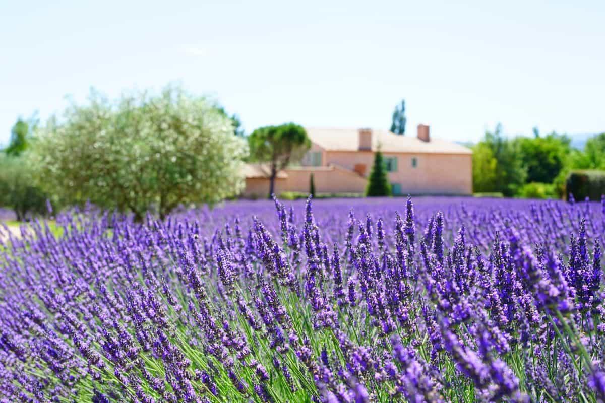 夏、フィールド、植物、庭、農業、ラベンダー、花、自然