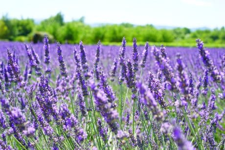 flora, summer, perfume, flower, lavender, countryside, field, nature