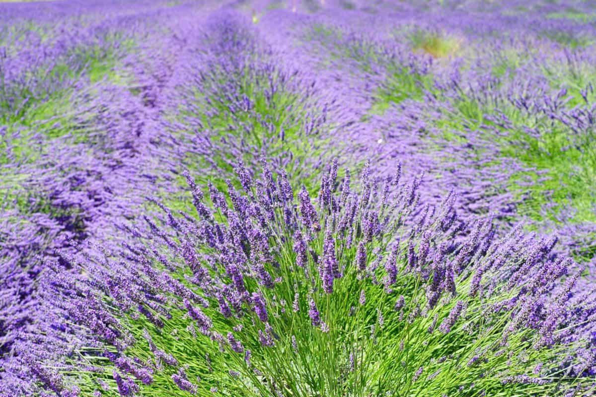 nature, agriculture, lavender, flower, flora, summer, field