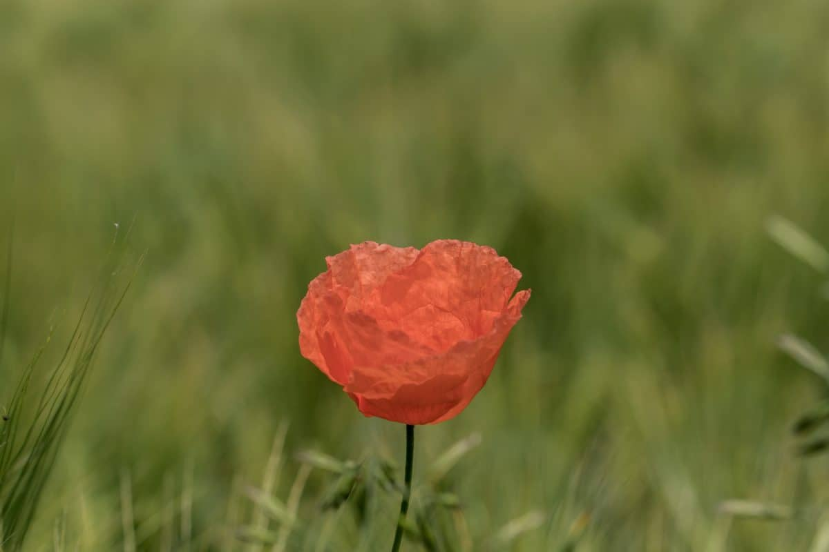 poppy, nature, summer, grass, field, flower, plant