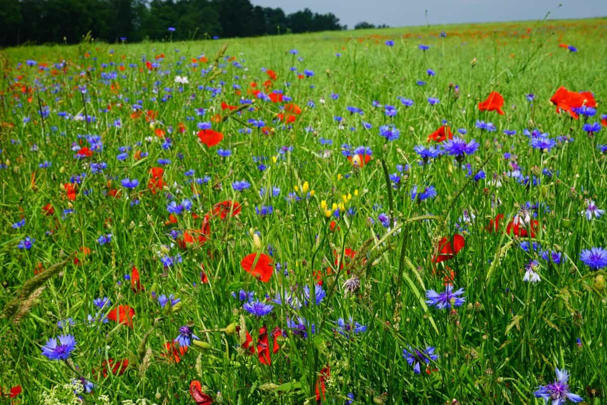 flower, poppy, flora, summer, field, grass, nature, meadow