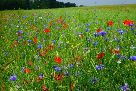 flower, poppy, flora, summer, field, grass, nature, meadow