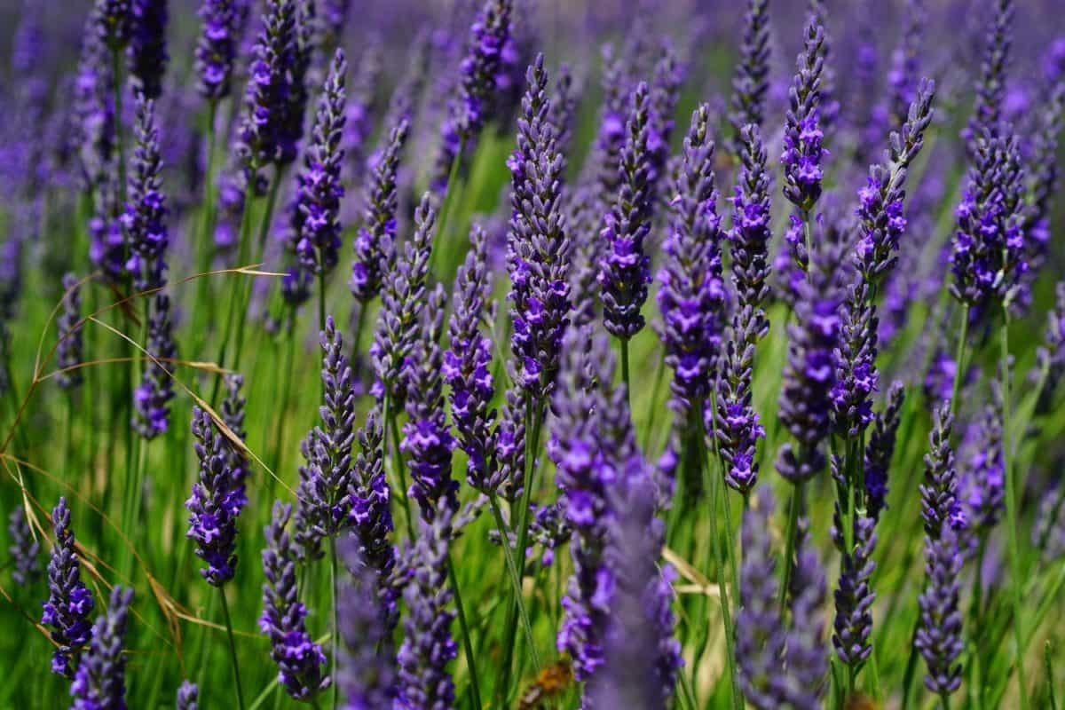 nature, flora, field, perfume, summer, flower, herb, lavender